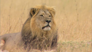Cecil | lion | National Geographic | Big Cat Month | 2021