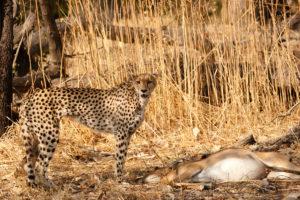 Nzuri | cheetah | National Geographic | Big Cat Month | 2021