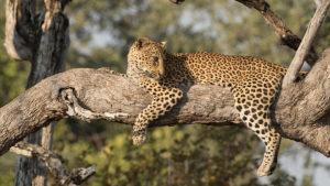 Pemba | leopard | National Geographic | Big Cat Month | 2021