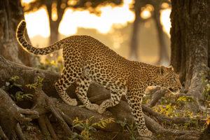 Makumbi | leopard | National Geographic | Big Cat Month | 2021