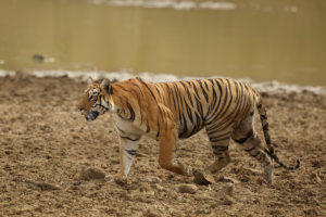 Maya | tiger | Taru | queen | National Geographic | Big Cat Month | 2021
