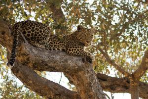 Mahri | leopard | National Geographic | Big Cat Month | 2021
